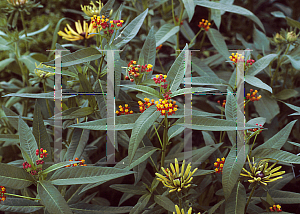 Picture of Asclepias curassavica