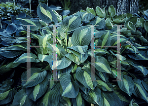 Picture of Hosta  'Apple Green'
