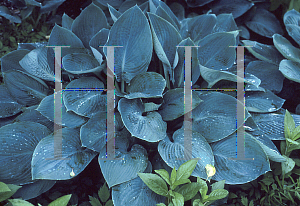Picture of Hosta  'Blue Vision'