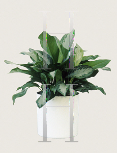 Picture of Aglaonema nitidum 'Silver Bay'