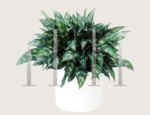 Picture of Aglaonema nitidum 'Emerald Beauty'