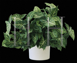 Picture of Syngonium podophyllum 'White Butterfly'