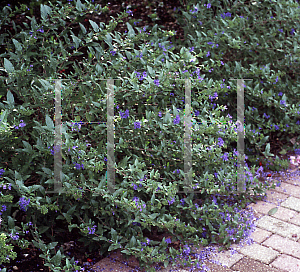 Picture of Caryopteris x clandonensis 'First Choice'