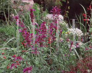 Picture of Agastache  'Tutti Fruitti'