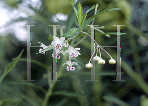 Picture of Asclepias physocarpa
