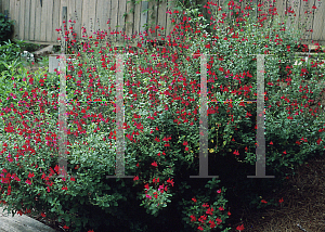 Picture of Salvia  'Cherry Queen'