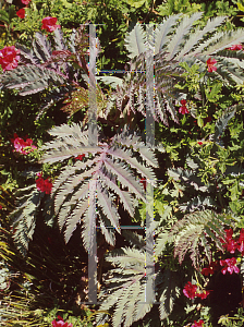 Picture of Melianthus major