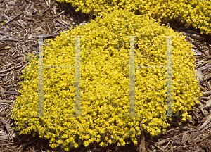 Picture of Sedum grisebachii