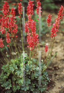 Picture of Heuchera sanguinea 'Sioux Falls'