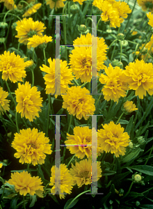 Picture of Coreopsis grandiflora 'Early Sunrise'