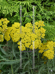 Picture of Achillea  'Coronation Gold'