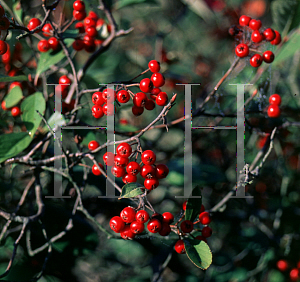 Picture of Aronia arbutifolia 'Brilliantissima'