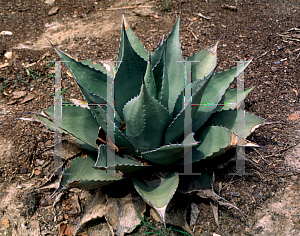 Picture of Agave neomexicana