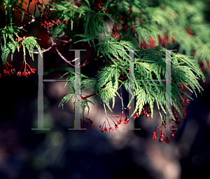 Picture of Acer palmatum (Dissectum Group) 'Seiryu'