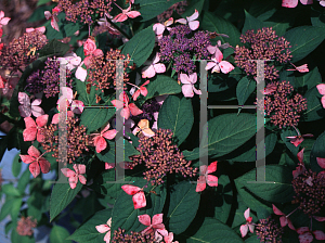Picture of Hydrangea serrata 'Grayswood'