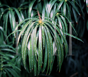 Picture of Podocarpus henkelii