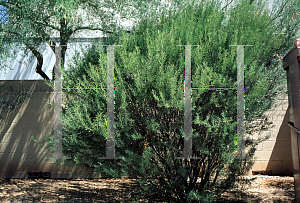 Picture of Acacia graffiana