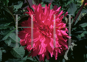 Picture of Dahlia  'Elise Huston'