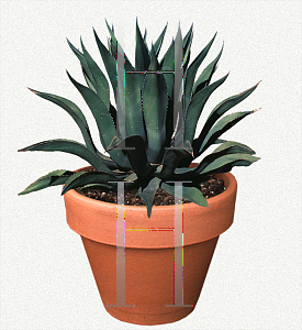 Picture of Agave salmiana