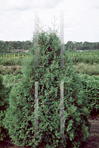 Picture of Thuja occidentalis 'Chalet'