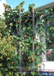 Picture of Abutilon x hybridum 'Kentish Belle'