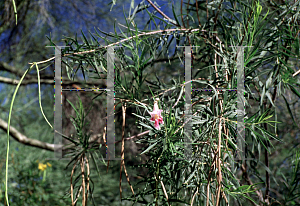 Picture of Chilopsis linearis