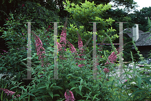 Picture of Buddleia davidii