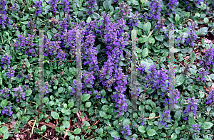 Picture of Ajuga genevensis
