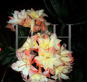 Picture of Rhododendron (subgenus Azalea) 'Cannon's Double'