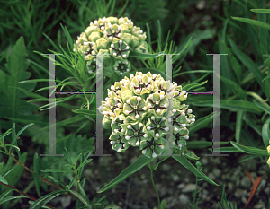 Picture of Asclepias asperula