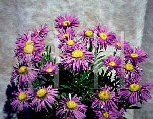 Picture of Aster tongolensis 'Wartburg Star'