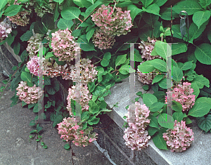 Picture of Hydrangea macrophylla 'All Summer Beauty'