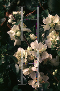 Picture of Chaenomeles speciosa 'Chobui'