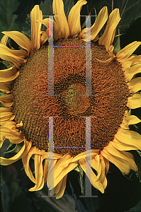Picture of Helianthus annuus 'Sunspot'