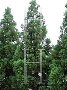 Picture of Cryptomeria japonica 'Kitayamaa'
