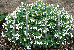 Picture of Pulmonaria officinalis 'Sissinghurst White'